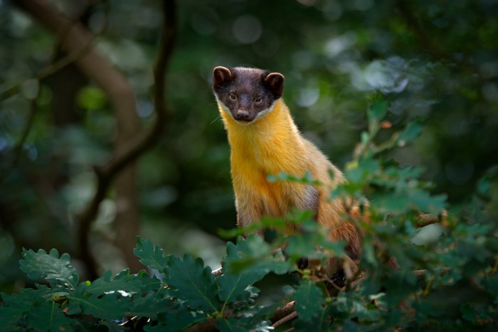 A Yellow-throated marten in the forest