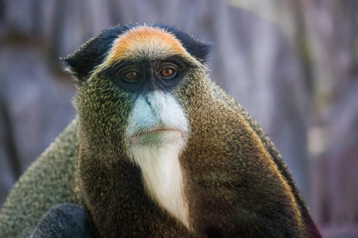 Close up wildlife portrait of a De Brazza's monkey