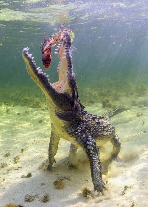A crocodile eating a fish
