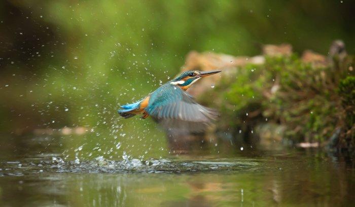Macro photo of a hummingbird splashing water while flying
