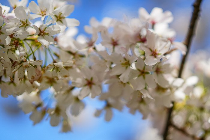 cherry blossoms shot with a shallow depth of field