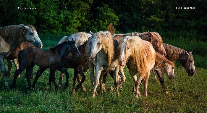 Wild horses with three white balance raw photos comparisons