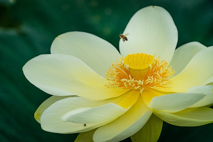 image of a Lotus flower with a flying bee