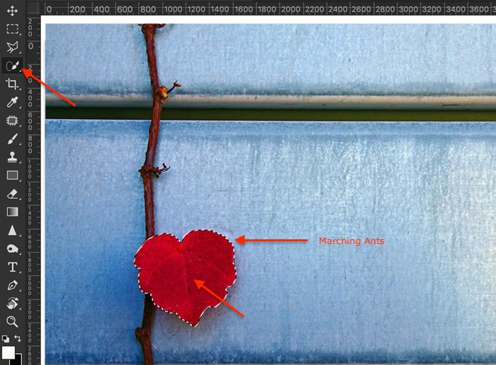 Image of Quick Selection tool on a red ivy leaf as a first step in Photoshop selective color process