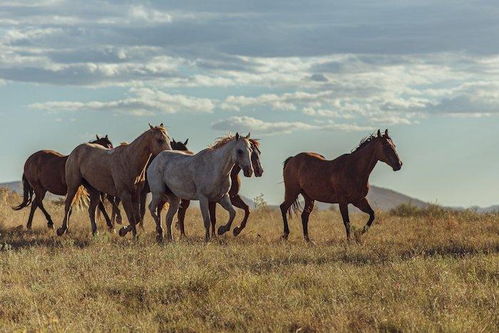 庄稼传感器长焦射击的马跑在干旱的草横向