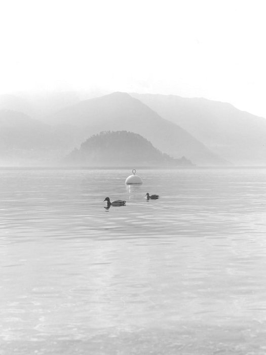 light black and white photograph of ducks with misty hills in the background