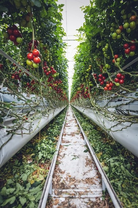 Editorial image of tomato vines in a greenhouse shot at a low angle
