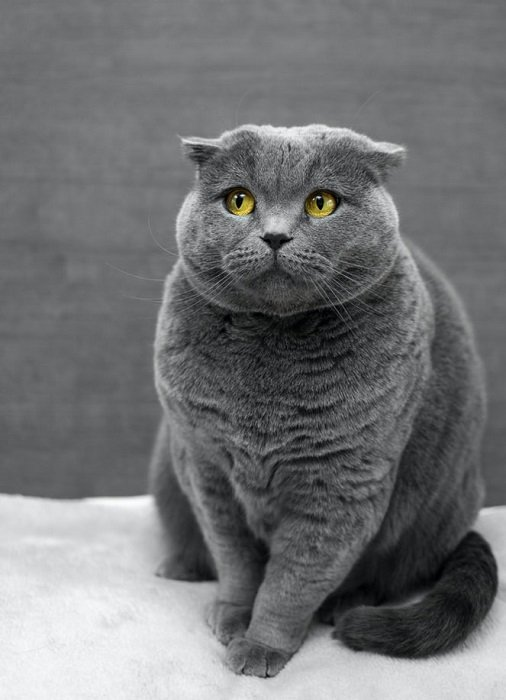 professional portrait of a grey British shorthair cat