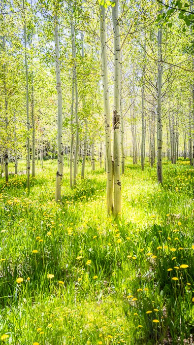 aspen trees vertical panorama