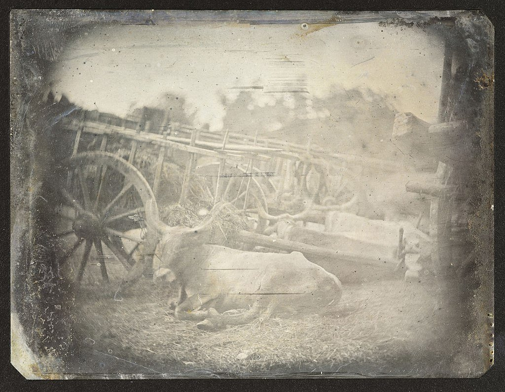 wet plate photo of an ox and cart