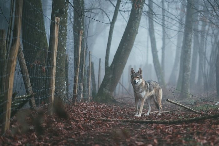 symbolic image of a wolf beside a fence in a woodland
