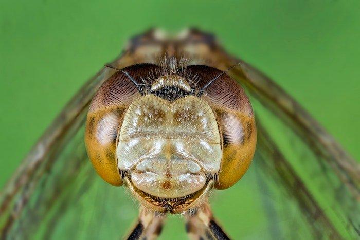 使用手动对焦叠加的蜻蜓的微距图像