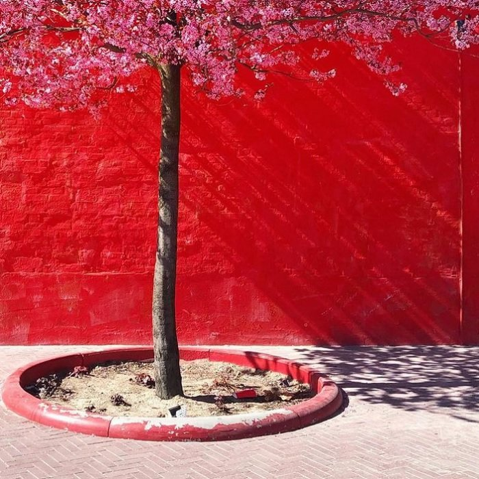 color in photography: a tree with pink flowers grows in front of a vibrant red wall