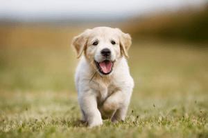 cute puppy photoshoot: Happy Puppy trotting toward camera